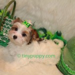 Biewer yorkshire terrier teacup puppy