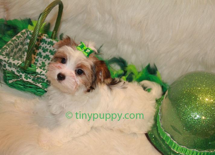Biewer yorkshire terrier teacup puppy