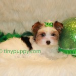 German Yorkie, Biewer Yorkie puppy, tinypuppy, teacup biewer