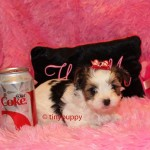 Biewer Yorkie puppy, tinypuppy, teacup biewer