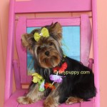 yorkshire terrier, teacup yorkie, tinypuppy, tiny puppy