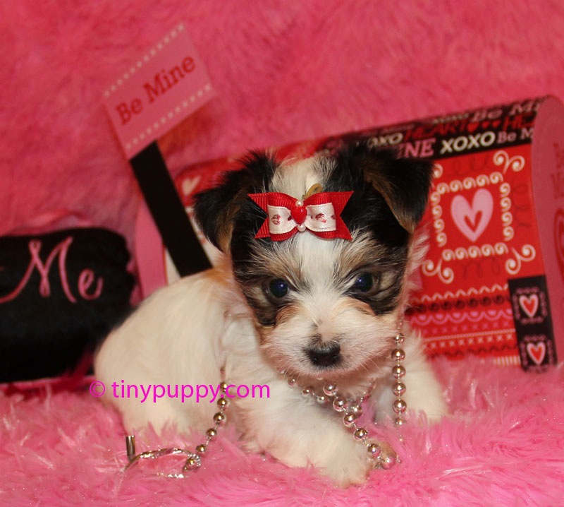 akc party teacup yorkie, akc parti teacup yorkie