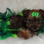 teacup yorkie, golden yorkie, brindle