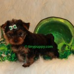 Teacup Yorkie Boy, teacup puppy, tiny puppy, teacup yorkshire terrier