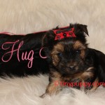 teacup Yorkie Boy, tinypuppy, Yorshire Terrier Boy