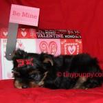 yorkie, yorkshire terrier Beau
