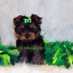 yorkie puppy cut, teacup puppy, tiny puppy, teacup yorkshire terrier