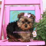 teacup puppy, tiny puppy, teacup yorkshire terrier