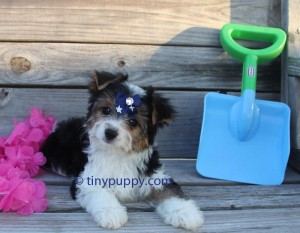 AKC Parti Yorkshire Terrier, Parti Yorkie, Parti Yorkie for sale