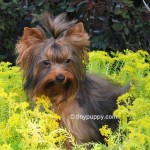 AKC Golden sable Male stud, Chocolate Tan yorkie, Yorkie haircut