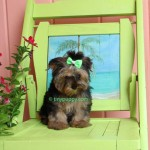 teacup yorkshire terrier, tinypuppy, tiny puppy, yorkshire Terrier