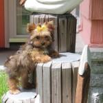 tiny Yorkie, teacup Yorkie, tinypuppy, tiny puppy