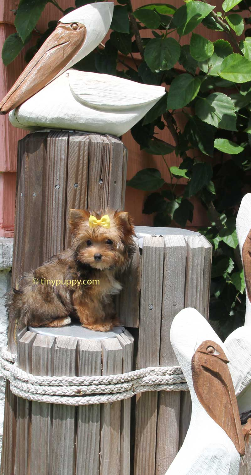 tiny Yorkie, teacup Yorkie, tinypuppy, tiny puppy