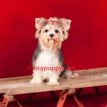 Yorkie Haircut, Yorkshire Terrier Hair styles, Grooming Yorkies, Puppy cut, Teddy Bear face yorkie