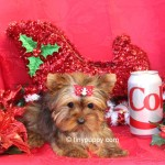 christmas puppy, teacup yorkie, micro yorkie, tiny puppy, tinypuppy