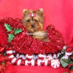 Micro yorkshire terrier, micro yorkie, teacup yorkie, christmas puppy, tinypuppy