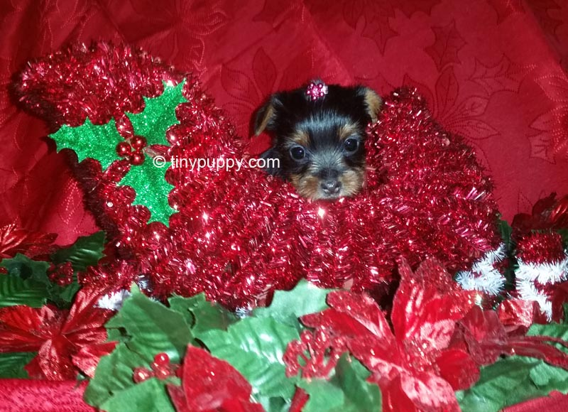 teacup yorkie puppy, tinypuppy, tiny yorkie, yorkshire terrier