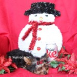 teacup yorkie, tiny puppy, yorkshire terrier puppy, teacup yorkie puppy