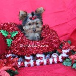 teacup yorkie, tiny puppy, yorkshire terrier puppy, teacup yorkshire terrier puppy