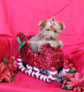 Chocolate yorkie, teacup chocolate yorkie, tiny chocolate yorkie, christmas puppy