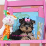 Teacup Yorkie Puppy, Micro yorkshire terrier, yorkshire terrier