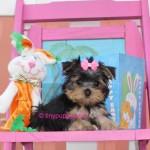 Teacup Yorkie Puppy, Micro yorkshire terrier, yorkshire terrier