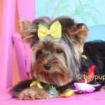 Teacup Yorkshire Terrier