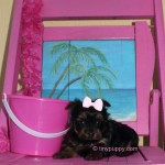 Black and Tan Yorkie puppy for sale, Toy Yorkie, tinypuppy