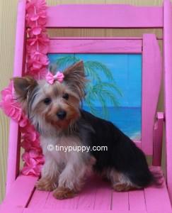 Beautiful Yorkie Denni – Champion Lines | Tinypuppy