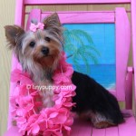 parti yorkie bloodline, blue and gold yorkie, adult yorkie for sale