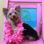parti yorkie bloodline, blue and gold yorkie, juvenile yorkie for sale, yorkie hair cut