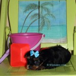 Jimmy choo yorkie puppy, dark yorkie puppy, little yorkie puppy, tiny yorkshire terrier