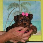 Teacup Yorkie, tinypuppy, Teacup golden Yorkie Puppy, Micro Yorkie