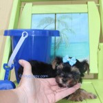 teacup yorkie puppy, micro yorkie puppy, tinypuppy, teacup yorkshire terrier