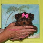 Micro Yorkie, teacup Yorkie, Golden Sable Yorkie