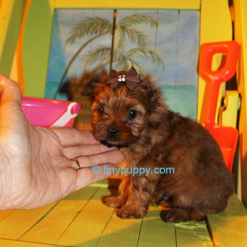 Teacup Yorkie, tinypuppy, Teacup golden Yorkie Puppy