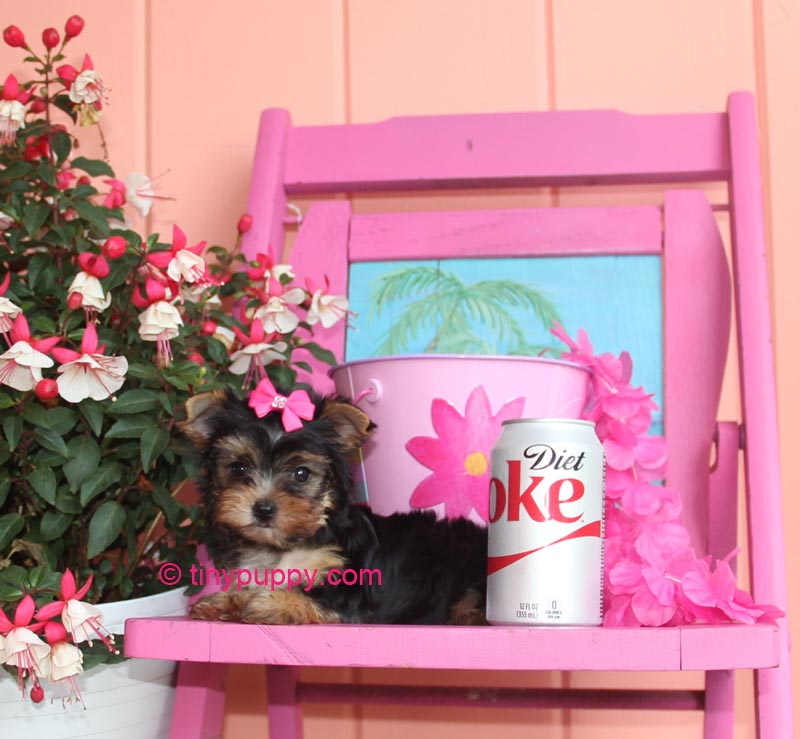teacup yorkie, teacup yorkshire terrier, tiny puppy, tiny yorkie