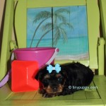 Jimmy Choo, Yorkie baby, tiny Yorkie, Yorkshire Terrier