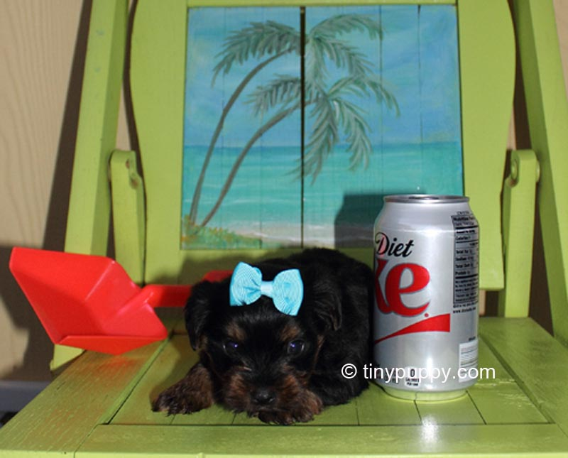 Black and Tan Yorkie Puppy, Yorkie puppy, tiny yorkie puppy