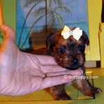 Gold Yorkie, Golden Yorkie, Teacup sable yorkie, chocolate yorkie