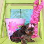 teacup chocolate Yorkie