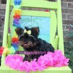 tiny yorkie, teacup yorkshire terrier,,teacup yorkie puppy