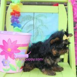tiny yorkie, teacup yorkshire terrier,,teacup yorkie puppy