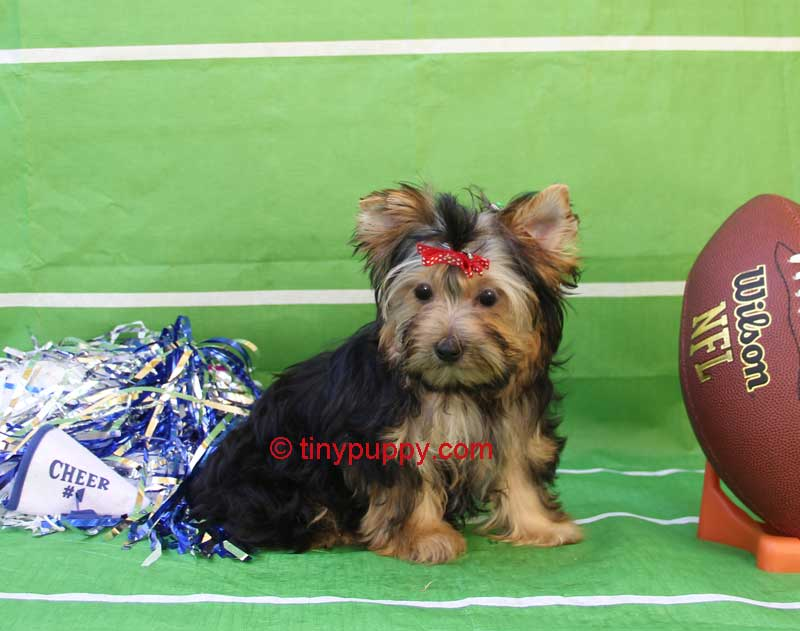black and tan teacup yorkie, 1/2 parti yorkie, teacup yorkie