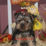 teacup Yorkie, tiny yorkie, Yorshire terrier Boy, tiny puppy