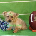 blond-yorkshire-terrier-boy