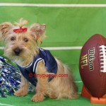 AKC Blond Yorkie, Blond Yorkshire Terrier, Gold Yorkie, Gold Yorkshire Terrier