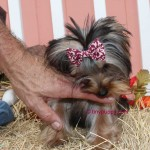 Micro Yorkie, teacup Yorkie, tiny yorkie, Yorshire terrier girl, tiny puppy