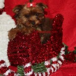Golden Sable Yorkie, Golden Sable teacup Yorkie, Charlie Brown Teacup Yorkie, tinypuppy
