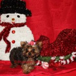 micro teacup yorkie, micro yorkie, micro sable yorkie, golden sable